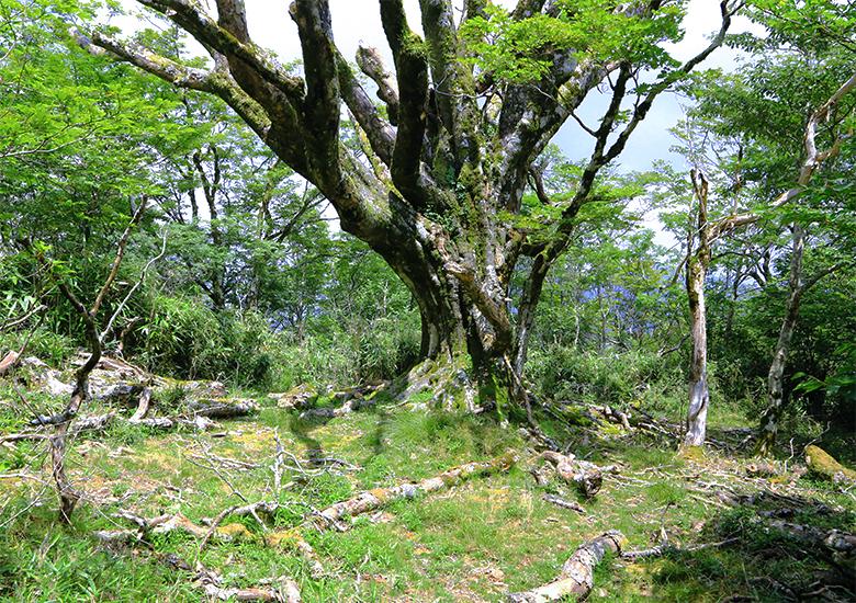 大座礼山のブナの木