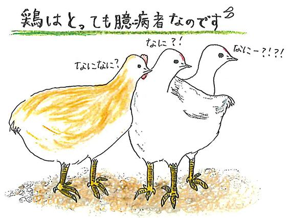 鶏はとっても臆病なのです