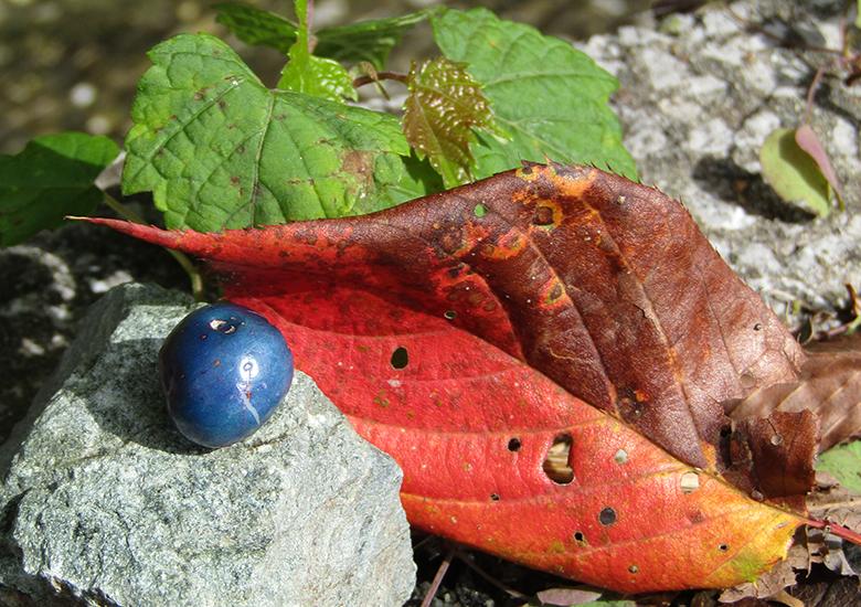 【秋の自然みつけ散歩】きれいな紅葉や鮮やかな色の実