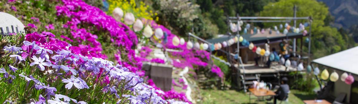 【大川村さくら祭】今年の見どころは満開のしばざくら