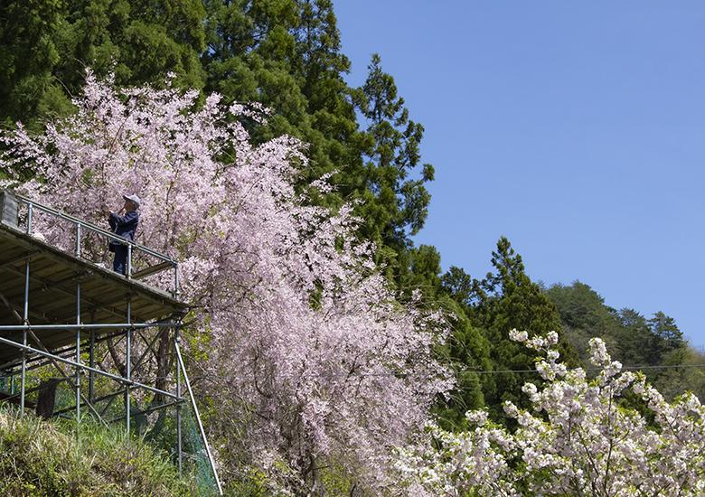 【大川村さくら祭】枝垂れ桜